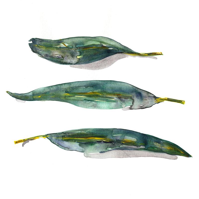 Three Blue Gum Leaves